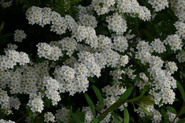 Spiraea cantoniensis (Reeves spirea)
