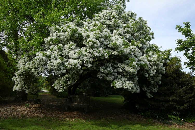 Chionanthus retusus (Chinese fringe tree)
