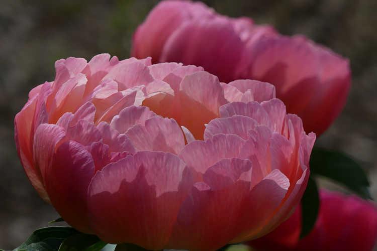 Paeonia 'Coral Sunset' (peony)