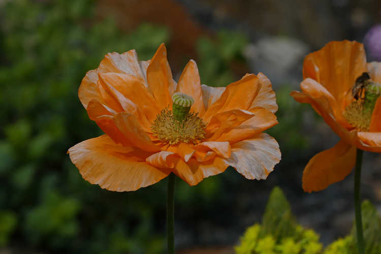 Papaver atlanticum 'Flora Plena'