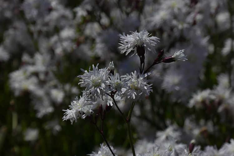 Lychnis flos-cuculi 'Petit Henri' (ragged robin)
