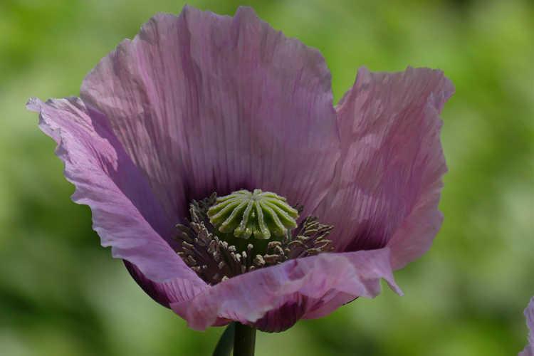 Papaver somniferum (opium poppy)