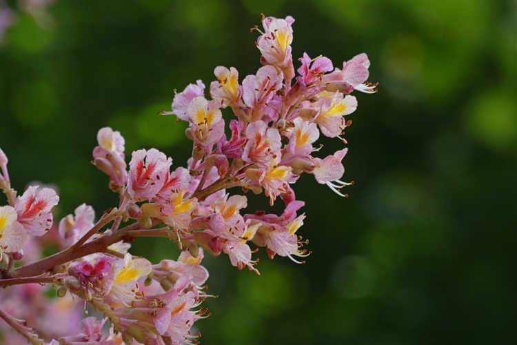 Aesculus ×carnea 'Variegata' (variegated red horse chestnut)