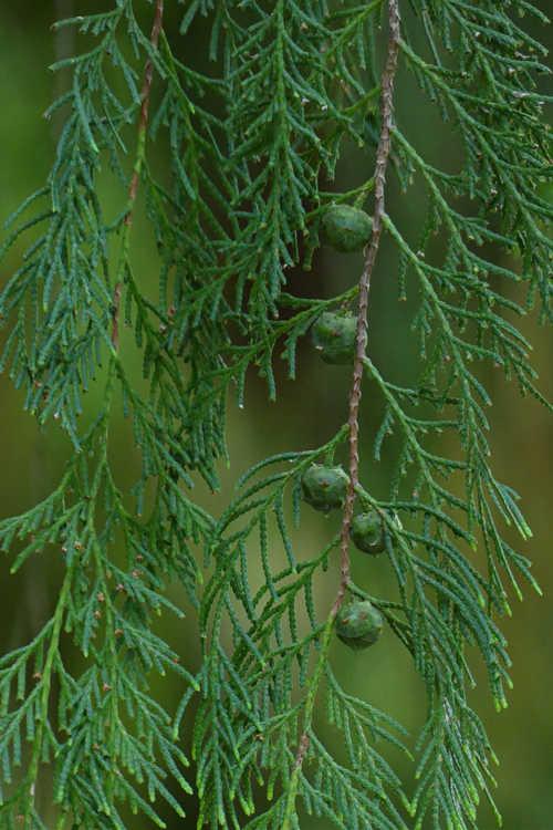 Cupressus funebris (mourning cypress)