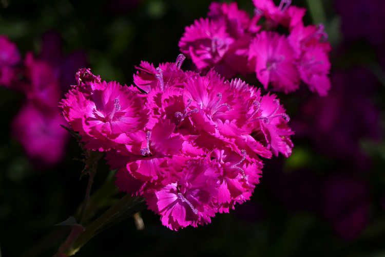 Dianthus 'Chris's Passalong' (perennial sweet William)