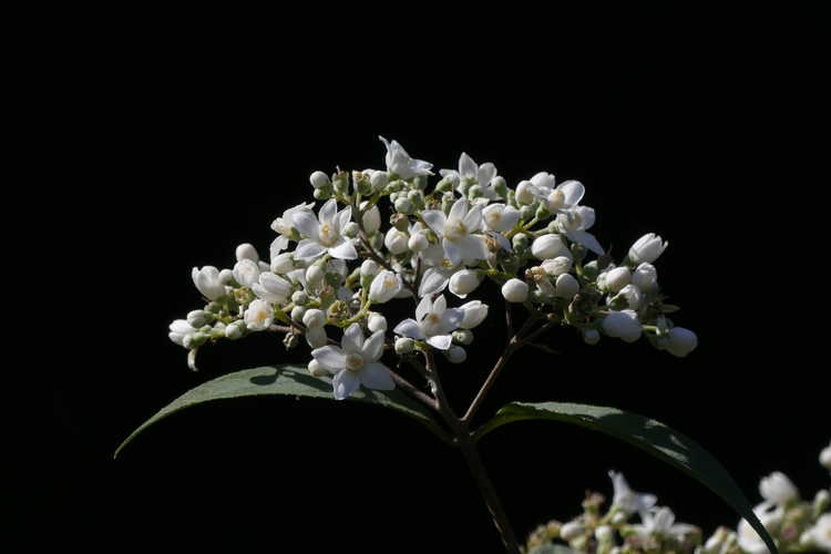 Deutzia setchuenensis var. corymbiflora (Sichuan deutzia)