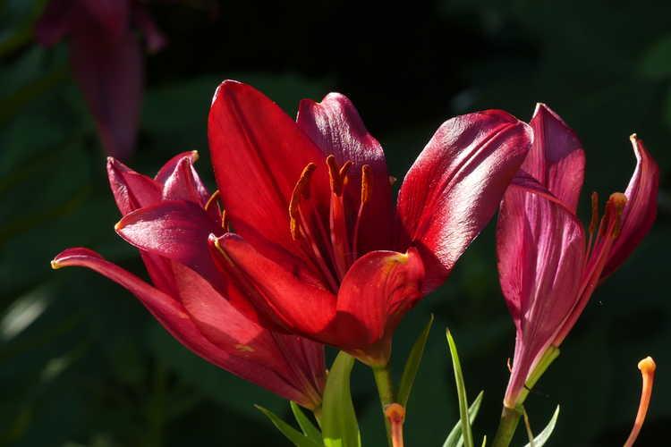 Lilium 'Red Alert' (hybrid lily)
