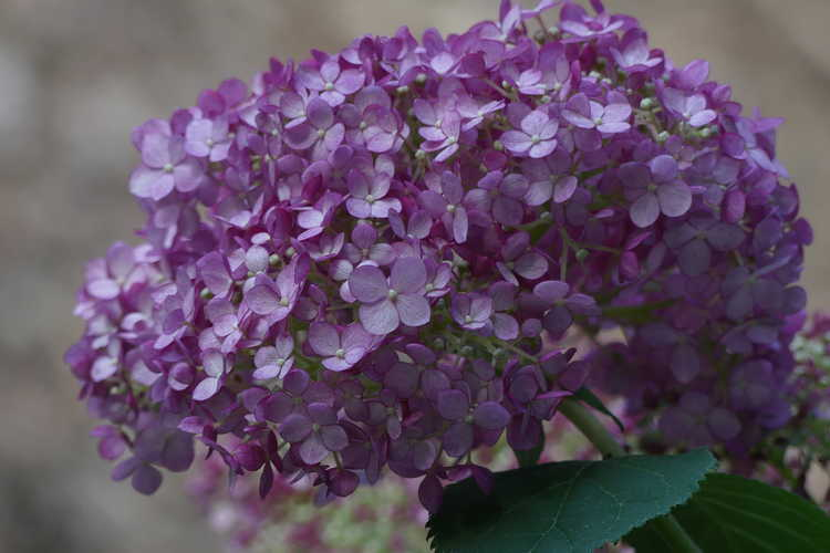 Hydrangea arborescens 'Ncha4' (Incrediball Blush smooth hydrangea)