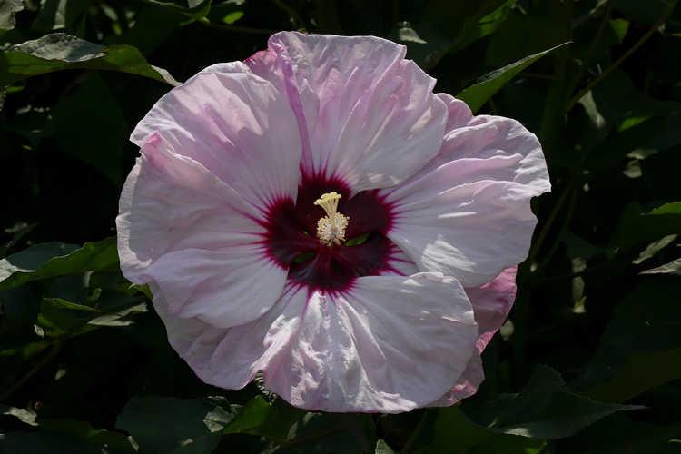 Hibiscus 'Cherry Cheesecake' (Summerific rose mallow)