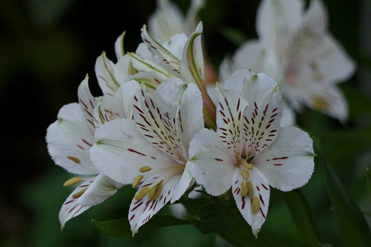 Alstroemeria 'Casablanca' (Peruvian lily)