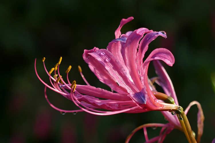 Lycoris (surprise lily)
