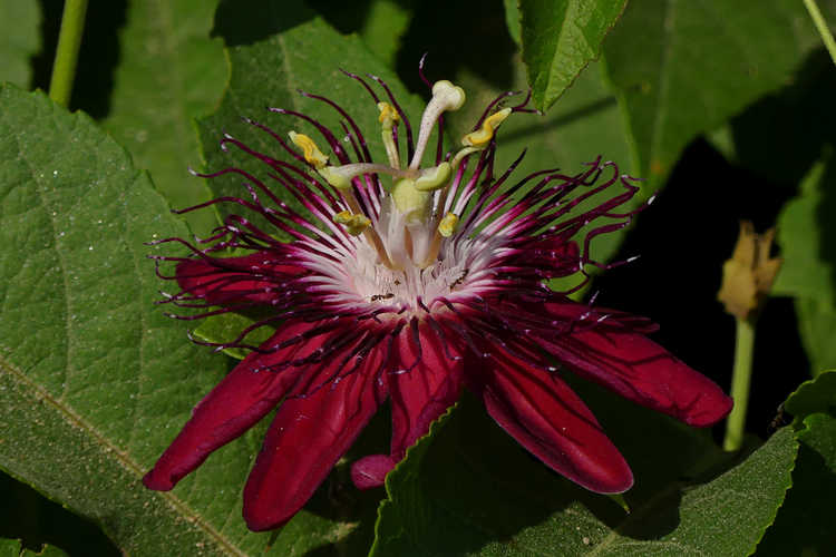 Passiflora 'Lady Margaret' (passion flower)