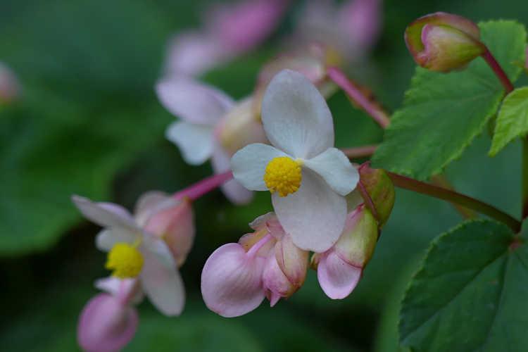 Begonia grandis 'Pink Teardrops' (hardy begonia)