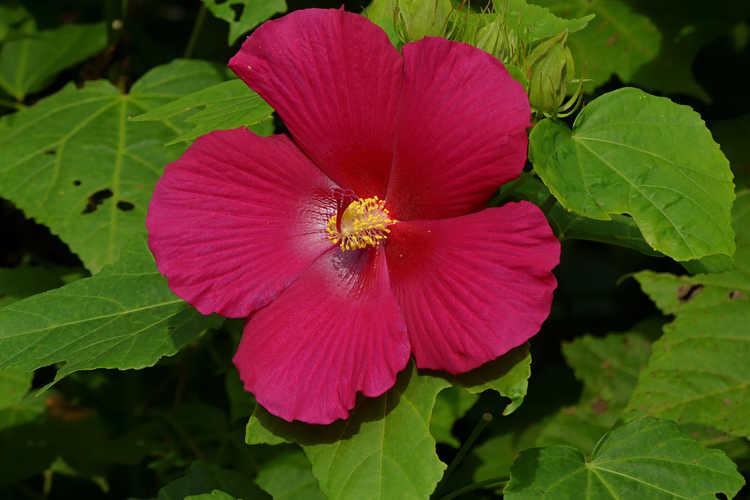 Hibiscus 'Happa Red' (Big Hit hybrid rosemallow)