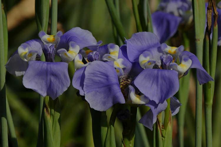 Cypella coelestis (goblet flower)