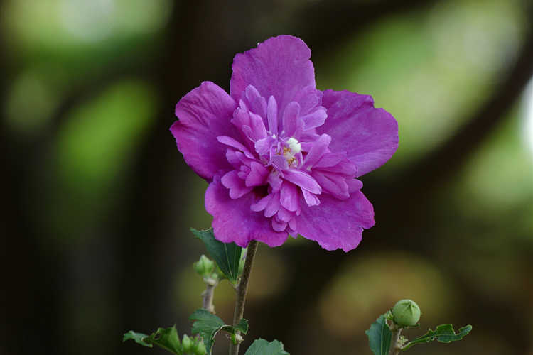 Hibiscus syriacus 'Ds03rs' (Raspberry Smoothie rose-of-Sharon)