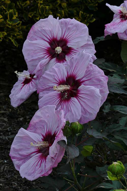 Hibiscus 'Cherry Choco Latte' (rose mallow)