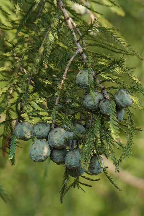 Taxodium 'Zhongshansa' (Nanjing Beauty Nanjing Beauty Swamp Cypress)