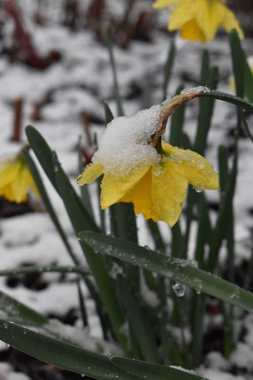Narcissus 'Rijnveld's Early Sensation' (trumpet daffodil)