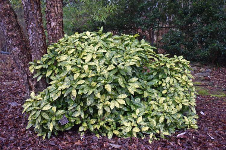 Aucuba japonica 'Crotonifolia' (variegated Japanese aucuba)