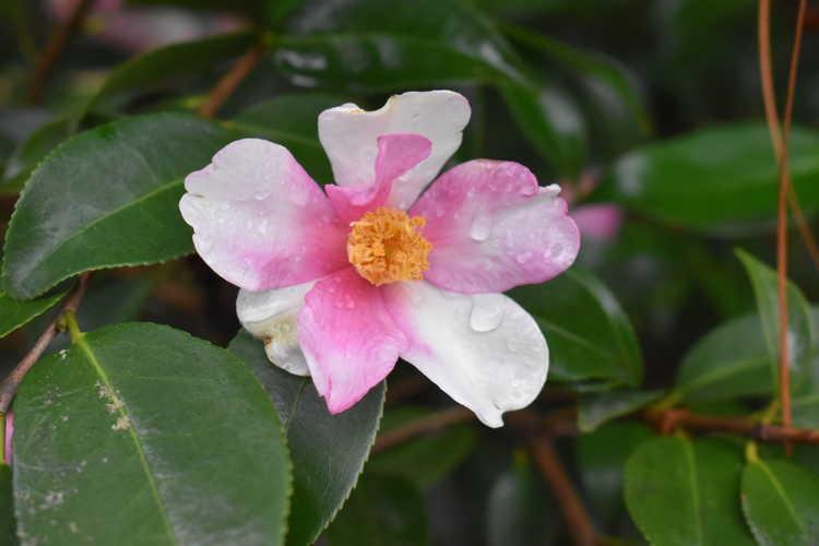Camellia 'Yume' (hybrid camellia)