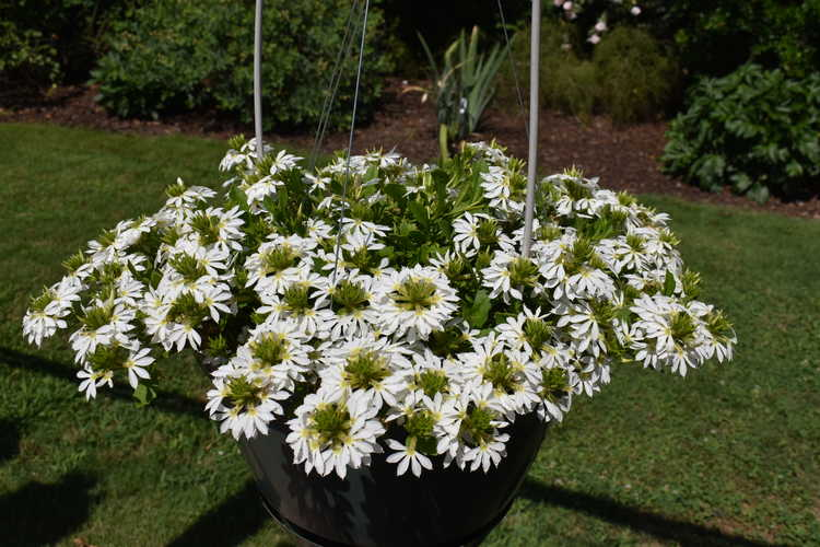 fan flower Scaevola aemula Surdiva® White Improved