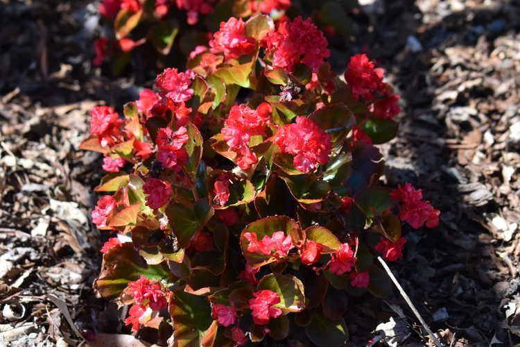 begonia Begonia Double Up™ Red