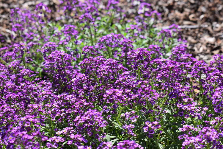 sweet alyssum Lobularia maritima Violet Knight™