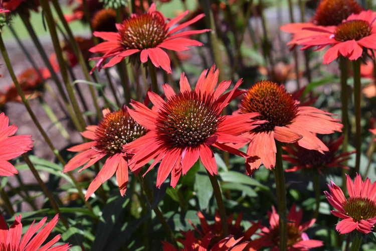 coneflower Echinacea Kismet® Red