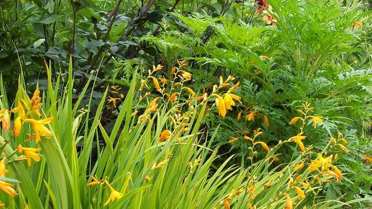 Crocosmia ×crocosmiiflora 'George Davidson'