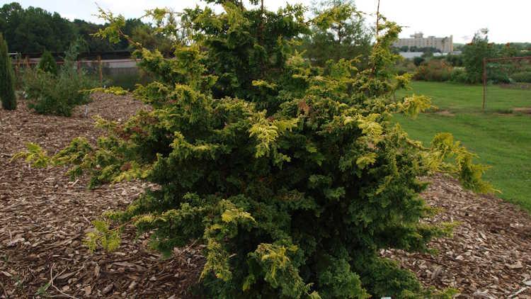 Chamaecyparis obtusa 'Golden Fern'