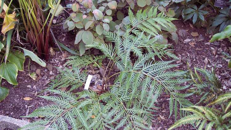 Woodwardia orientalis