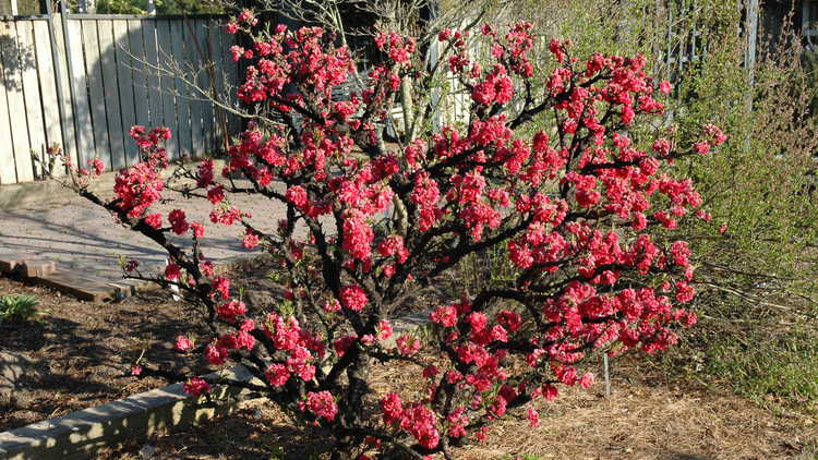 Prunus persica 'NCSU Dwarf Double Red'
