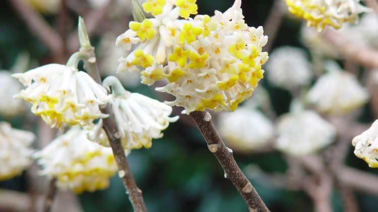 Jc raulston arboretum 2013 jcra plant sale for Edgeworthia chrysantha