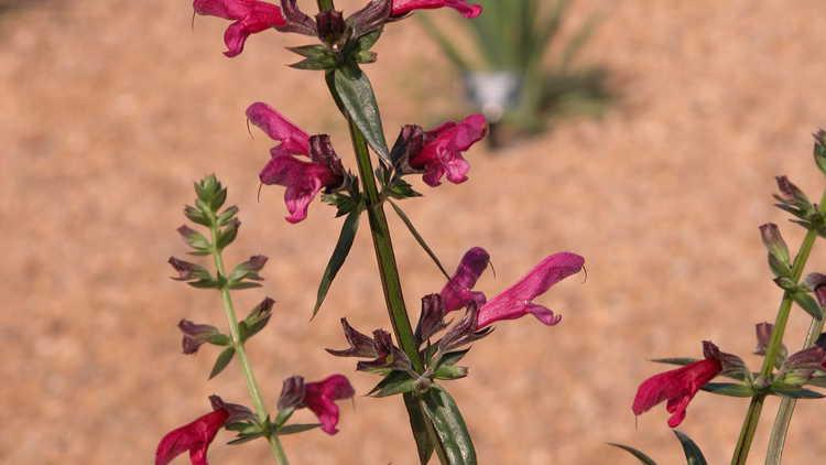 Salvia penstemonoides