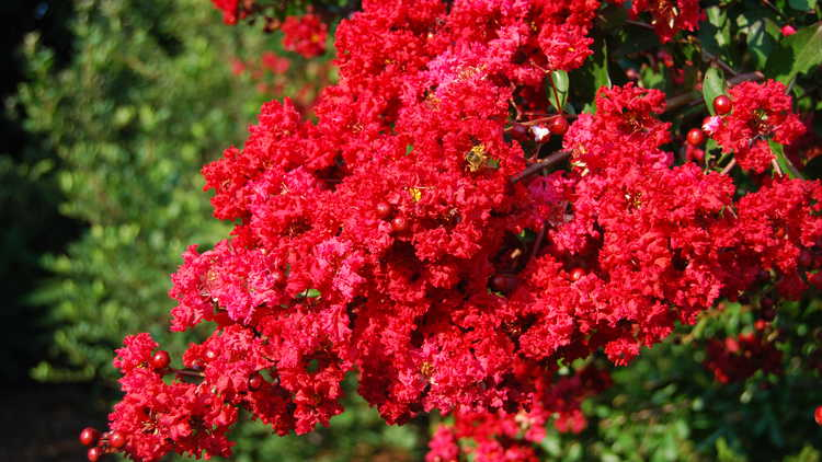 Lagerstroemia indica 'Whit II'
