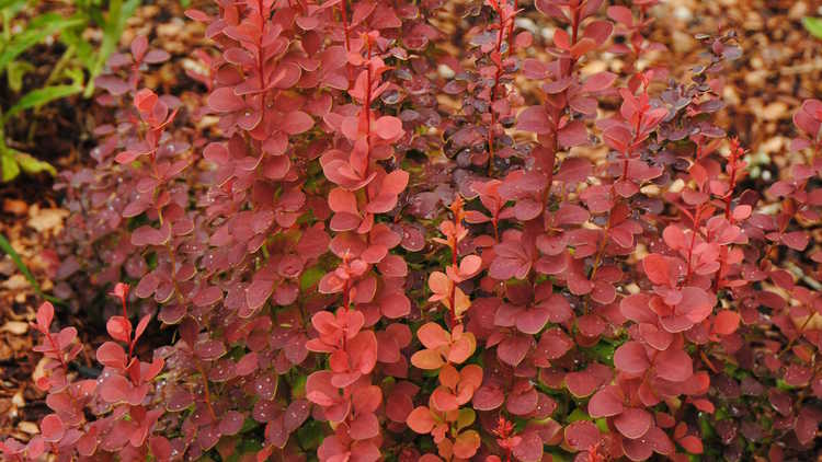 Berberis thunbergii 'Orange Rocket'