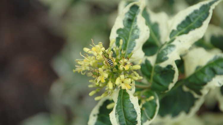 Diervilla sessilifolia 'Lpdc Podaras'
