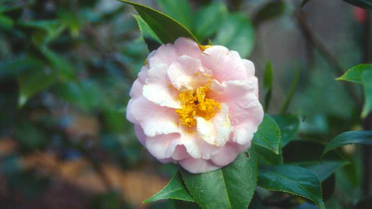 Camellia ×williamsii 'Taylor's Perfection'
