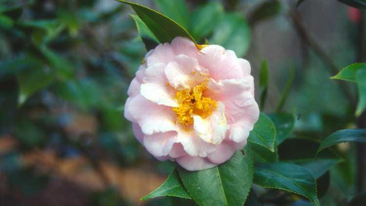 Camellia ×williamsii 'Taylor's Perfection'