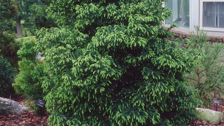Cryptomeria japonica 'Gyokuryu'