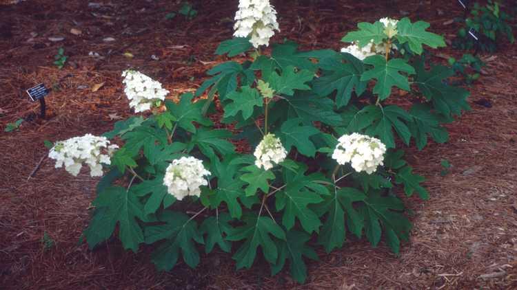 Hydrangea quercifolia 'Ellen Huff'