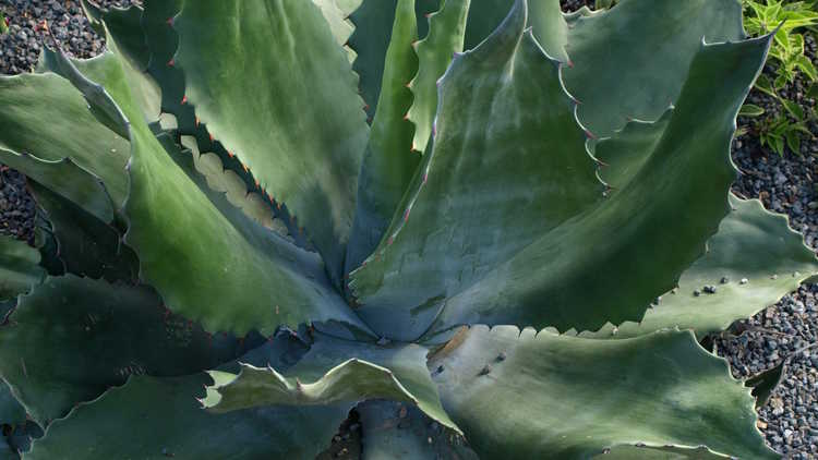 Agave 'Crazy Horse'