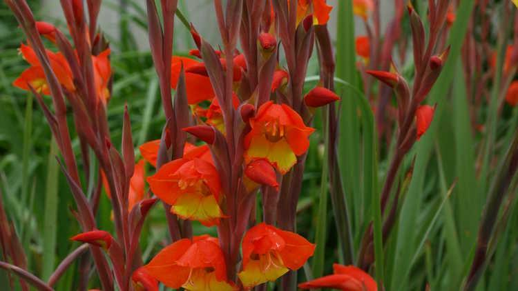 Gladiolus dalenii 'Halloweenie'