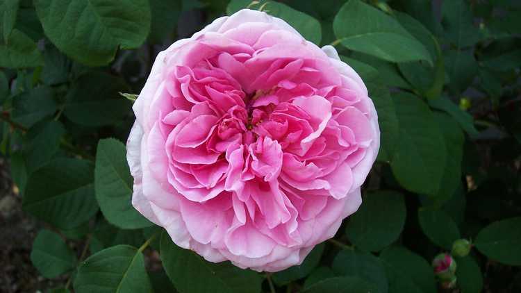 Rosa 'Ausboard'