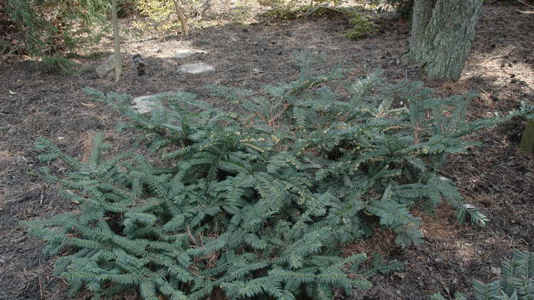 Cephalotaxus harringtonia var. drupacea