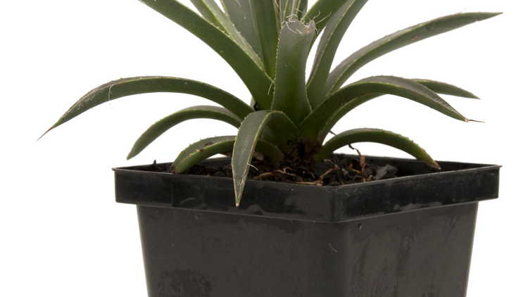 Agave toumeyana subsp. bella