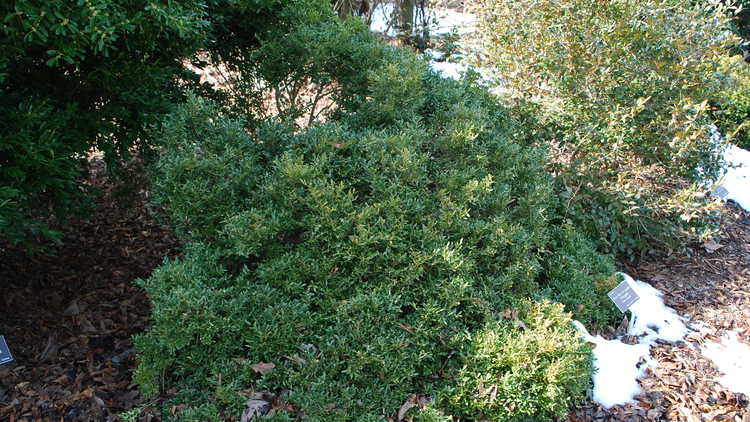 Buxus sinica var. insularis 'Wintergreen'