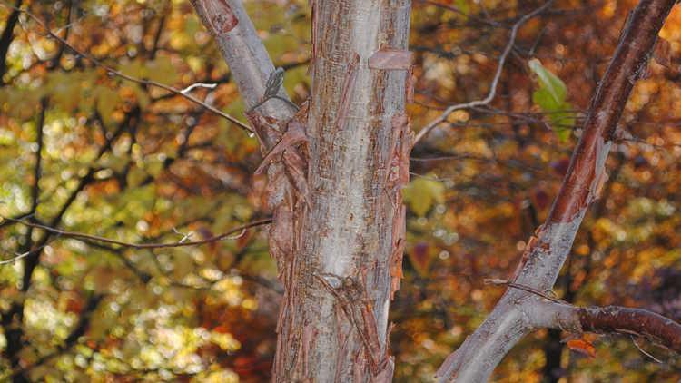 Corylus fargesii
