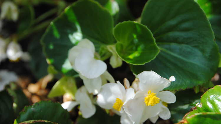 Begonia Semperflorens-cultorum Group (hardy white)
